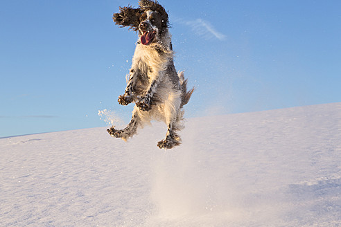 Germany, Bavaria, English Springer Spaniel playing in snow - MAEF005446