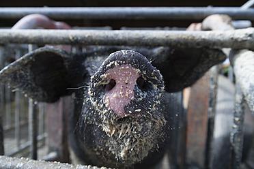 Germany, Bavaria, Bentheim Black Pied Pig, close up - TC003176