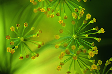 Germany, Dill flower, close up - TCF003192