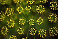 Germany, Dill flower, close up - TCF003195