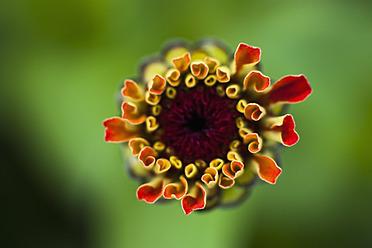 Germany, Zinnia flower, close up - TCF003199