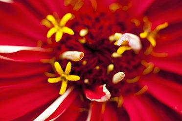 Germany, Zinnia flower, close up - TCF003201