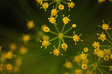 Germany, Dill flower, close up - TCF003208