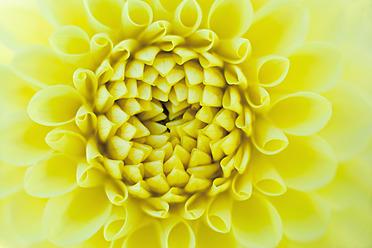 Germany, Dahlia flower, close up - TCF003212