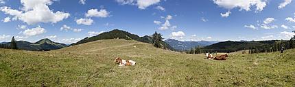 Austria, Salzkammergut, Cow sitting in pasture at Illinger Alp - WW002616