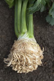 Germany, Bavaria, Freshly harvested celery - TCF003222