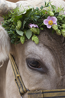 Germany, Cows head decorated with dog rose, close up - TC003260