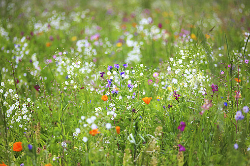 Germany, Baden Wuerttemberg, View of flower meadow - JTF000272