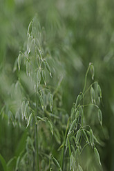 Germany, Cultivation of cereal plant - CRF002258