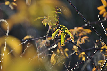 Germany, Bavaria, Hedge in autumn, close up - AXF000418