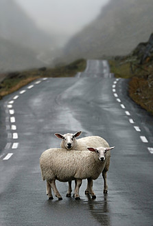 Norway, Sheep standing on road - CW000002