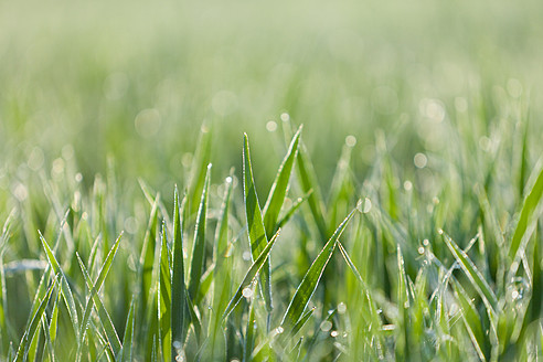 Italy, Grass with dewdrops in morning light, close up - FLF000149
