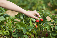 Germany, Bavaria, Young Japanese woman picking fresh strawberries in strawberry field - FLF000203