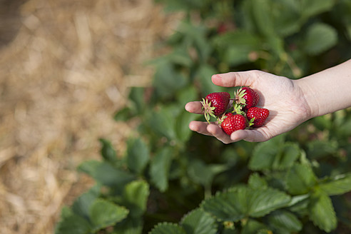 Germany, Bavaria, Young Japanese woman picking strawberries in field - FLF000208