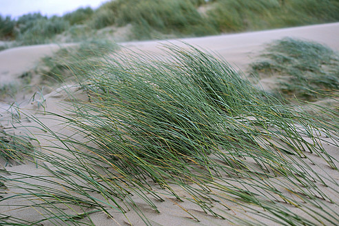 Netherlands, Ouddorp,  Dune with beach grass - MHF000101