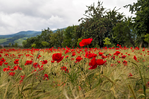 France, Fresh poppy flowers - JOKF000008