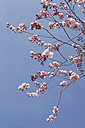 Germany, Bavaria, View of Japanese cherry blossom against sky - CRF002286