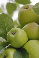 Germany, Bavaria, Apples growing on tree - CRF002288