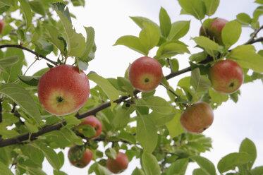 Germany, Bavaria, Apples growing on tree - CRF002294