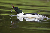 Germany, Bavaria, Goosander swimming in water, close up - FOF004777