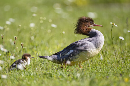 Germany, Bavaria, Goosander with chicks, close up - FOF004792