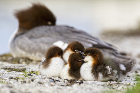 Germany, Bavaria, Goosander with chicks, close up - FOF004795
