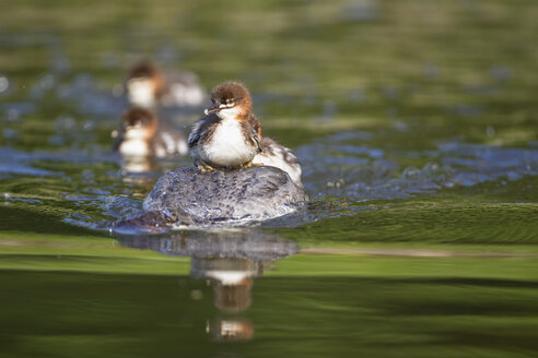 Germany, Bavaria, Goosander with chicks on her back, close up - FOF004802