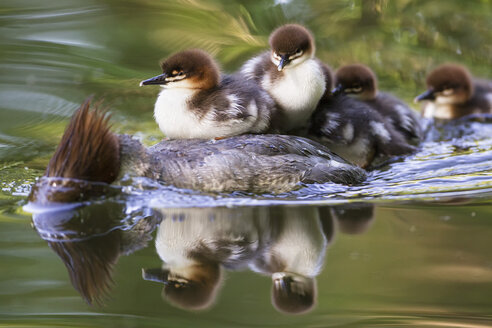 Germany, Bavaria, Goosander with chicks on her back, close up - FOF004805