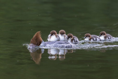 Germany, Bavaria, Goosander with chicks on her back, close up - FOF004808