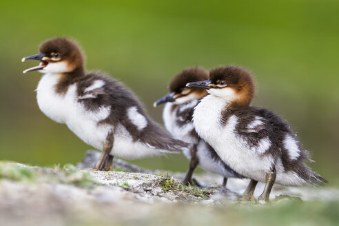 Germany, Bavaria, Goosander chicks, close up - FOF004821