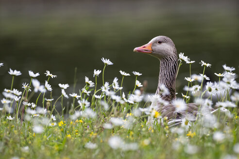 Germany, Bavaria, Greylag Goose with flower, close up - FOF004829