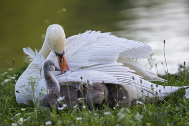 Europe, Germany, Bavaria, Swan with chicks on grass - FOF004870