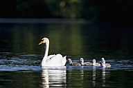 Europe, Germany, Bavaria, Swan with chicks swimming in water - FOF004878