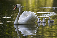Europe, Germany, Bavaria, Swan with chicks swimming in water - FOF004879