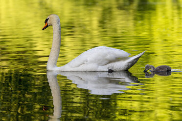 Europe, Germany, Bavaria, Swan with chicks swimming in water - FOF004881