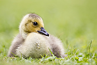 Europe, Germany, Bavaria, Canada Goose chick on grass - FOF004908