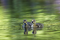 Europe, Germany, Bavaria, Canada Goose chicks swimming in water - FOF004913