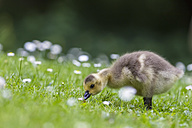 Europe, Germany, Bavaria, Canada Goose chick on grass - FOF004918
