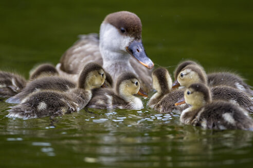 Europe, Germany, Bavaria, Red-crested Pochard with chicks swimming in water - FOF004928