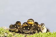 Germany, Bavaria, Mallard ducklings sitting in plants - FOF004935
