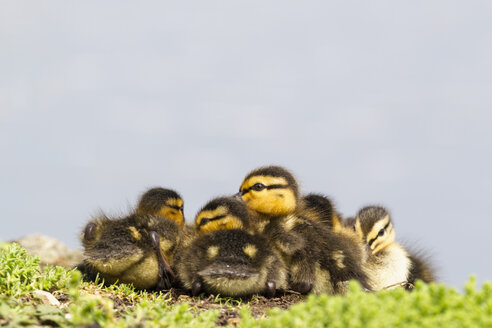 Germany, Bavaria, Mallard ducklings sitting in plants - FOF004935