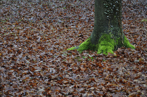 Germany, Munich, Tree with moss and autumn leaves - AXF000429