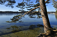 Europe, Germany, Upper Bavaria, Pine tree on the shore of Ostersee - ESF000311