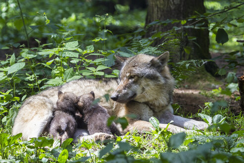 Germany, Bavaria, Gray wolf is suckling her pups - FOF004996