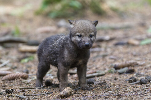 Germany, Bavaria, Gray wolf pup in forest - FOF004998