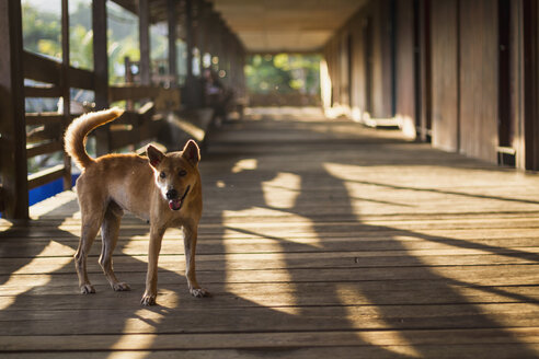 Malaysia, Sarawak, Stray dog in traditional longhouse - MBE000590
