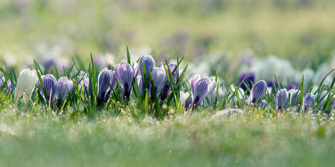 Germany, Baden Wuerttemberg, Crocus flowers, close up - BSTF000011