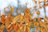 Germany, Dried beech tree in forest during winter - JT000291