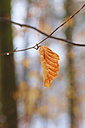 Germany, Dried beech tree in forest during winter - JT000292