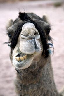 Egypt, Camel at desert - TK000102